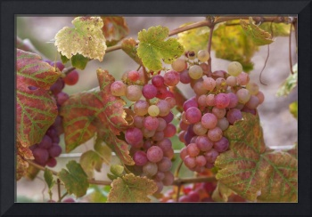 Red Grapes Clusters 11