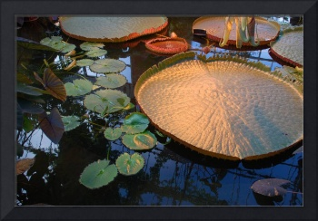 New Zealand Lily Pad