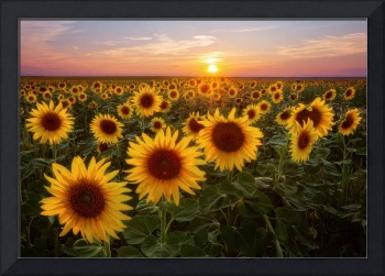 Colorado Sunflower Season