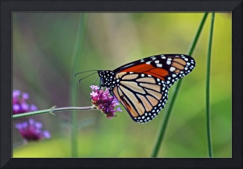 Butterfly  Monarch
