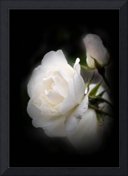 flowers on black - white rose and rosebud