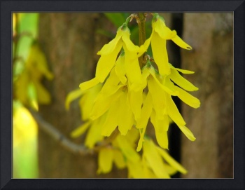Fairy-wing Forsythia