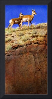 pronghorn on the edge