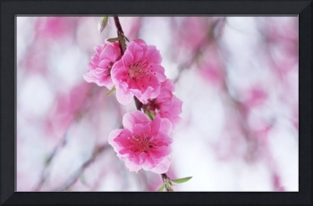 Pink Plum Flowers Blossoming
