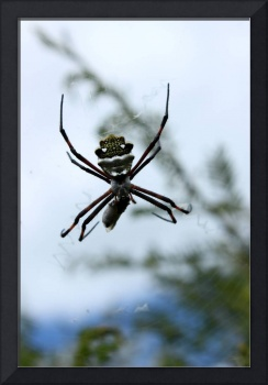 Orb Weaver Spider and Prey