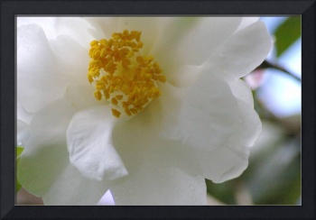 white camellia frill with yellow center detail