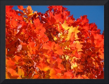 Red Orange Autumn Leaves art prints Blue Sky