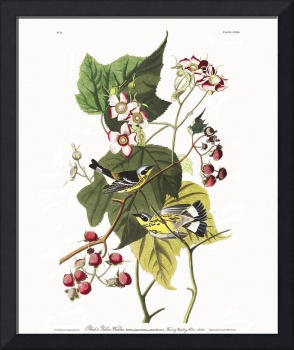 Black and Yellow Warbler, Plate 123
