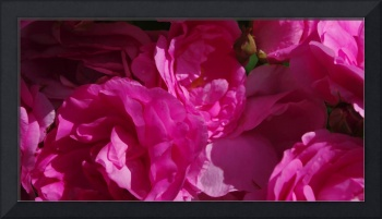 Pink Roses   0277
