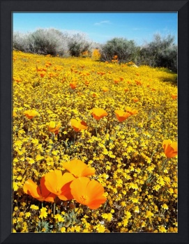California Poppy Patch