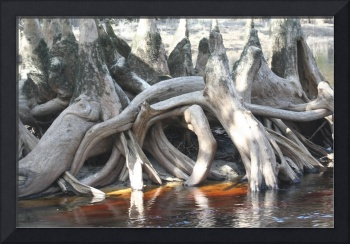Ole Cypress Knees  IMG_7314