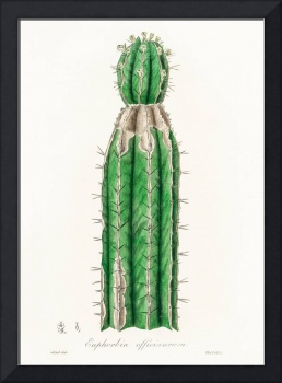 Vintage Botanical Euphorbia officinarum