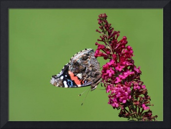 Red Admiral Butterfly Upside Down 2015