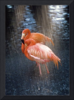 Flamingos in the Rain