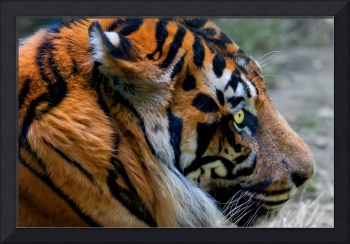 Portrait of Tiger with intense Eye