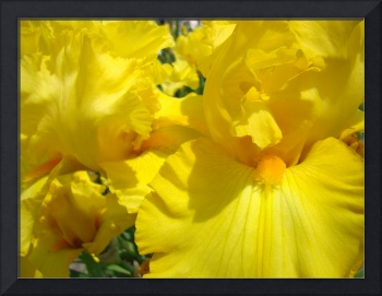 Irises Yellow Iris Flower 14 Spring Flowers Art