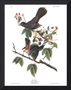 Audubon plate 128 Cat Bird