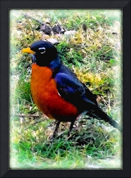 Red Bellied Robin