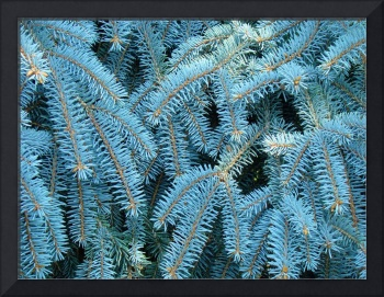 Blue Spruce Conifer Tree branches Art prints