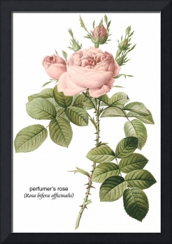 Perfumer's Rose Botanical Art