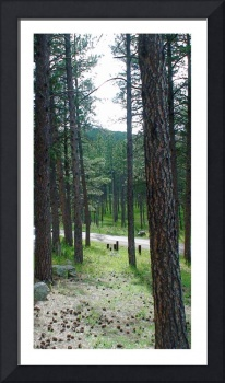 10x20pactola tall trees