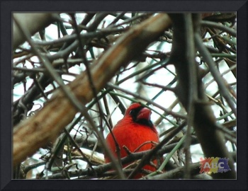 Nestled in, male cardinal