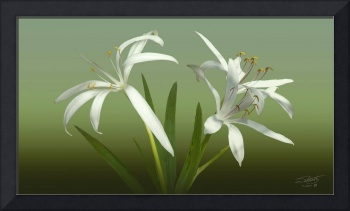 Three Swamp Lily blossoms