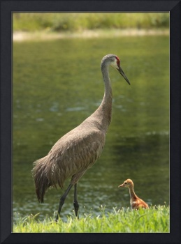 Sandhill Crane with Baby Chick