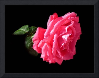 Large Pink Rose Against Black.