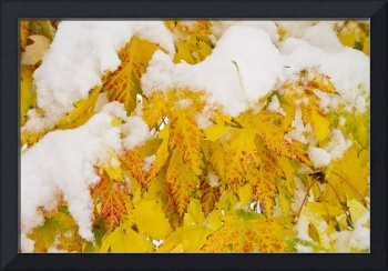 Fresh Snow on Colorful Autumn Leaves