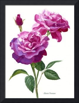 Red Violet Roses with Bud on White