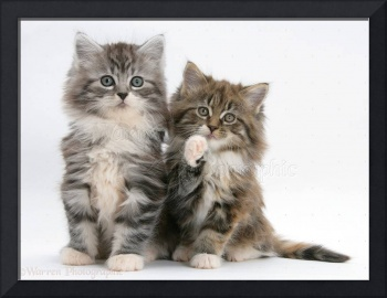 2 Fluffy Maine Coon Kittens