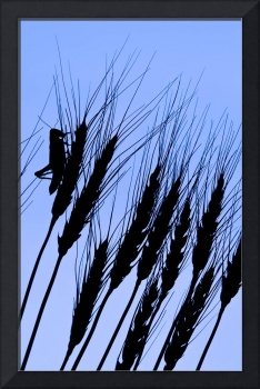 Silhouette Of A Grasshopper On Wheat, Near Manor,