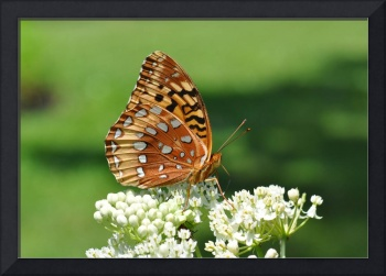 Aphrodite Butterfly