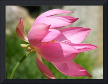 Lotus 'Rosy Clouds'