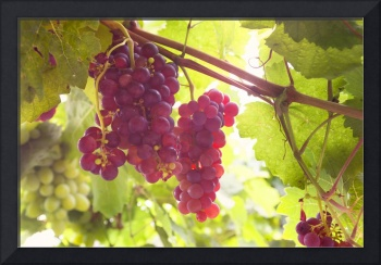 Red Grapes Clusters 6