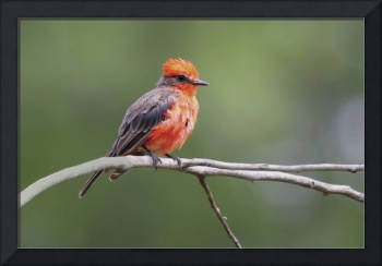 Vermillion Flycatcher Photograph