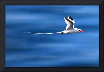 Tropic Bird In Flight - Galapagos