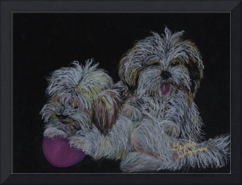 Shawnee & Lexee--Havanese Puppies