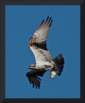 Osprey With Alwife