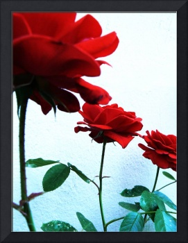 Roses in a Line