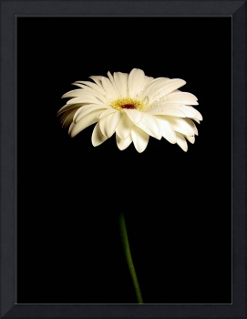 White Gerbera Daisy Admirable