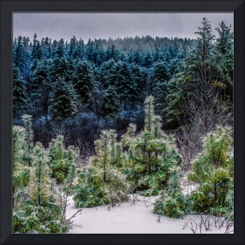 Icy Pines