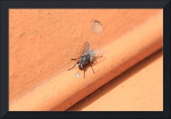 Black Fly on a Roof