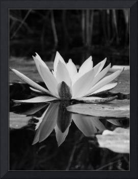 Water Lily - Classic Black and White