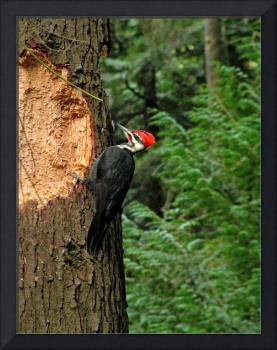 Pileated Woodpecker feeding
