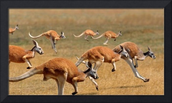 Red Kangaroos Hopping In The Australian Outback