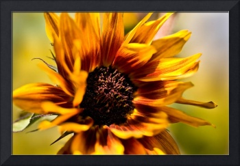 Sunflower in the Breeze