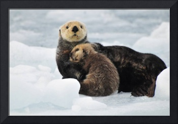 Sea Otter mother and pup rest on an ice floe at Ha