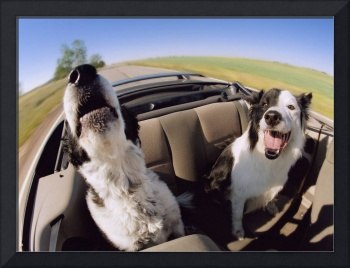Two Dogs In Backseat Of Convertible